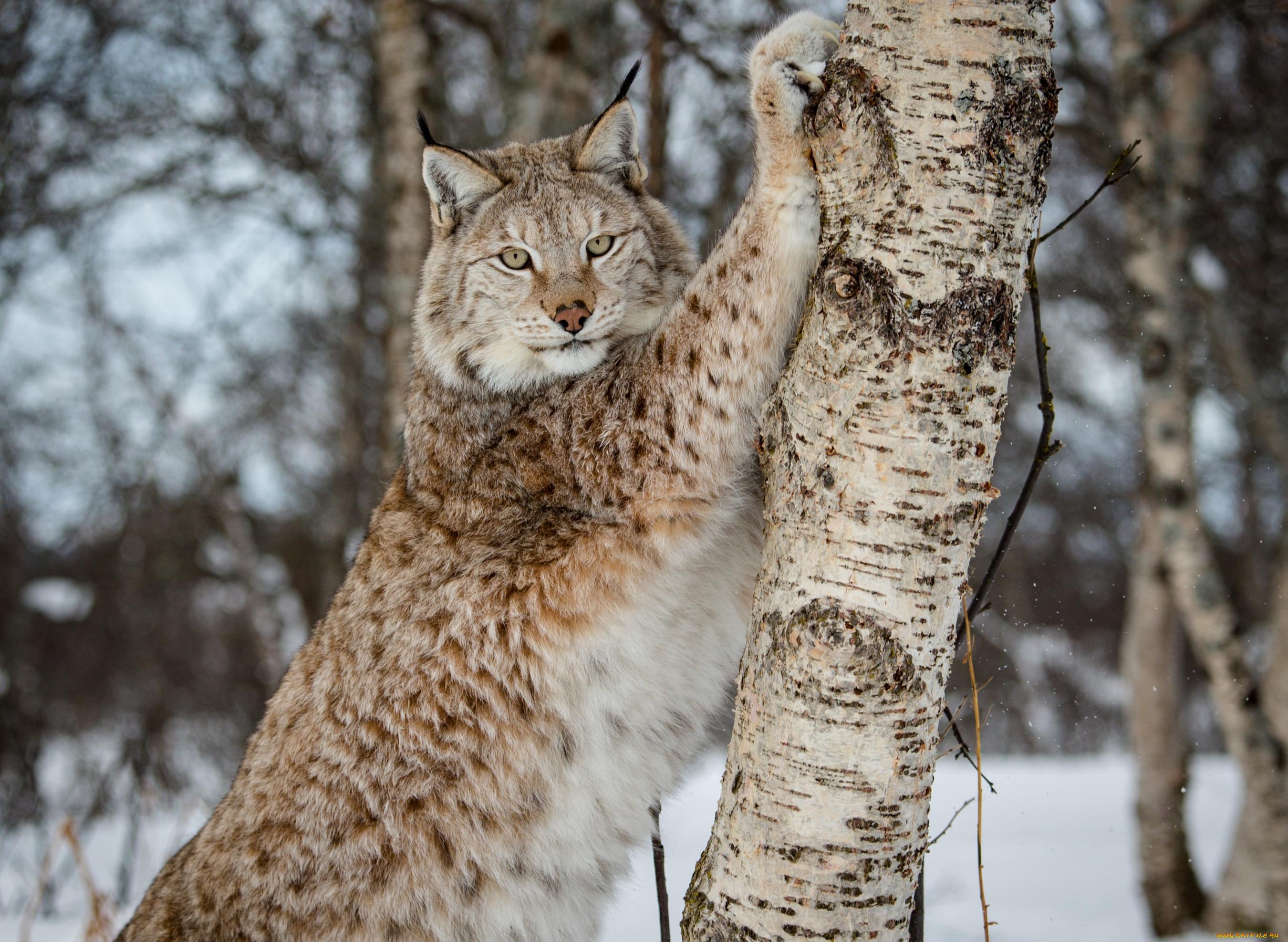 никто любит, рысь сибирская фото животного любителям шумных вечеринок